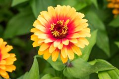 `Zowie! Yellow Flame` Zinnia Bloom. Beautiful, full bloom of a semi-tall zinnia with a unique, fiery, bicolor pattern Royalty Free Stock Photo