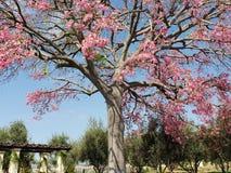 Beautiful full blossom tree . pink beautiful flower big tree royalty free stock photos