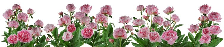 Beautiful full pink flowers and plants of peonies isolated Stock Photography