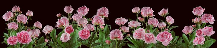 Beautiful full pink flowers and plants of peonies isolated Stock Photo