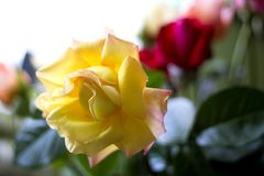 Beautiful full rose in a bouquet royalty free stock image