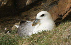 A beautiful Fulmar Fulmarus glacialis sitting on its nest on the side of a cliff. A Fulmar Fulmarus glacialis sitting on its nest on the side of a cliff Royalty Free Stock Photography