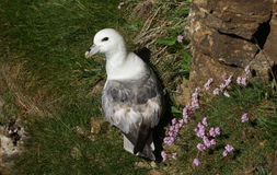 A beautiful Fulmar seabird Fulmarus glacialis sitting on the side of a cliff on Orkney, Scotland, with Thrift flowers behind it. A Fulmar seabird Fulmarus Stock Photos