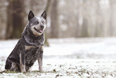 Beautiful and fun australian cattle dog puppy shepherd waiting i Stock Photo