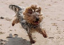Fun dog beats. Beautiful, fun little Jokshire dog runs along hung red clay royalty free stock photo