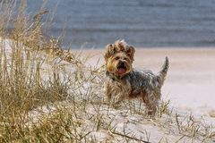 Fun dog beats. Beautiful, fun little Jokshire dog runs along hung red clay royalty free stock images