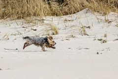 Fun dog beats. Beautiful, fun little Jokshire dog runs along hung red clay stock photos
