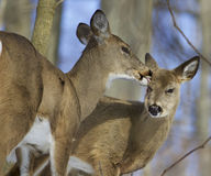 Beautiful funny background with a pair of the cute wild deers Royalty Free Stock Photo
