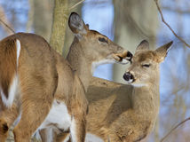 Beautiful funny background with a pair of the cute wild deers Royalty Free Stock Photos