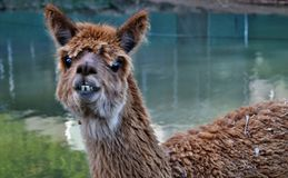 A beautiful and funny brown lama smile. On a farm in Australia stock photography