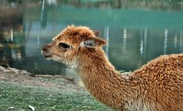 A beautiful and funny brown lama smile. On a farm in Australia royalty free stock photos