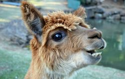 A beautiful and funny brown lama smile. On a farm in Australia royalty free stock photography