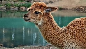 A beautiful and funny brown lama smile. On a farm in Australia royalty free stock images