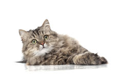 Beautiful funny cat Stock Photography