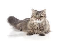 Beautiful funny cat Royalty Free Stock Images
