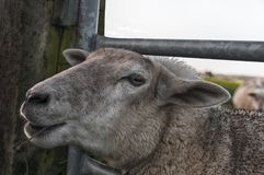 A beautiful and funny close up of a sheep stock image