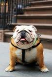 Beautiful funny dog English bulldog Royalty Free Stock Images