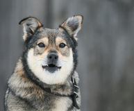 Beautiful funny dog stands and barks in the yard Stock Image