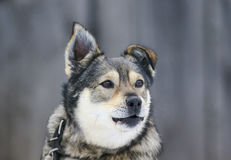Beautiful funny dog stands and barks in the yard Stock Images