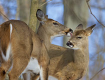 Beautiful funny image with a pair of the cute wild deers Stock Photos