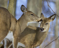 Beautiful funny image with a pair of the cute wild deers Stock Photo