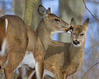 Beautiful funny image with a pair of the cute wild deers licking each other Stock Photography