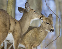 Beautiful funny image with a pair of the cute wild deers Royalty Free Stock Photo