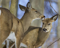 Beautiful funny image with a pair of the cute wild deers Royalty Free Stock Photography