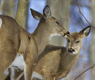 Beautiful funny photo of a pair of the cute wild deers Stock Photography