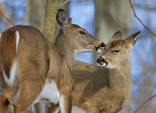 Beautiful funny photo of a pair of the cute wild deers Stock Images