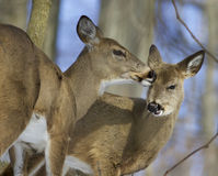 Beautiful funny photo of a pair of the cute wild deers Royalty Free Stock Image