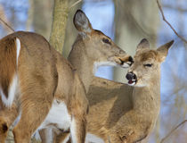 Beautiful funny photo of a pair of the cute wild deers licking each other Stock Photo