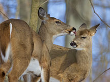 Beautiful funny picture with a pair of the cute wild deers Stock Photo