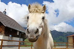 Beautiful and funny white horses Royalty Free Stock Images