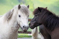 Beautiful and funny white horses Royalty Free Stock Photos