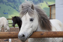 Beautiful and funny white horses Stock Image