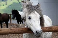 Beautiful and funny white horses Stock Photography