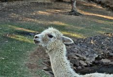 A beautiful and funny white lama smile. On a farm in Australia Royalty Free Stock Photography