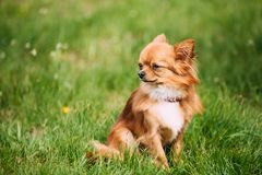 Beautiful Funny Young Red Brown And White Tiny Chihuahua Dog Sitting. Beautiful Funny Young Red Brown And White  Tiny Chihuahua Dog Sitting On Fresh Green Grass Royalty Free Stock Photos