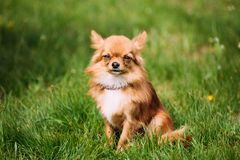 Beautiful Funny Young Red Brown And White Tiny Chihuahua Dog Sitting. Beautiful Funny Young Red Brown And White  Tiny Chihuahua Dog Sitting On Fresh Green Grass Stock Image