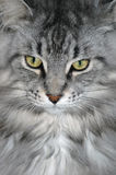 Beautiful Fur. Closeup of beautiful long haired Maine Coon cat Stock Photo