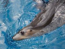 Beautiful fur seal Stock Photos