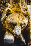 Beautiful and furry brown bear Royalty Free Stock Photo