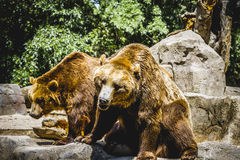 Beautiful and furry brown bear Stock Photography