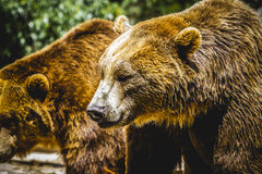 Beautiful and furry brown bear Stock Images