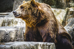 Beautiful and furry brown bear Stock Photos