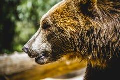 Beautiful and furry brown bear Stock Image