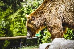 Beautiful and furry brown bear Royalty Free Stock Photos