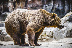 Beautiful and furry brown bear Royalty Free Stock Images