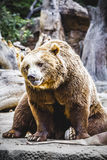 Beautiful and furry brown bear Royalty Free Stock Photography
